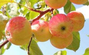 Preview wallpaper apples, branch, leaves, background