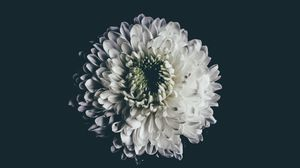 Preview wallpaper aster, white, flower, bud