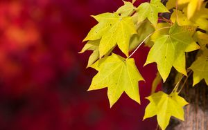 Preview wallpaper autumn, macro, red, foliage, background