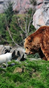 Preview wallpaper bear, grizzly bear, arctic fox, grass, rocks