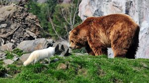 Preview Wallpaper Bear Grizzly Arctic Fox Grass Rocks