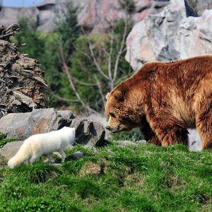 Preview wallpaper bear, grizzly bear, arctic fox, grass, rocks