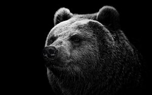 Preview wallpaper bear, grizzly bear, eyes, nose