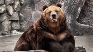 Preview wallpaper bear, zoo, nature, reserve, muzzle