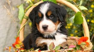Preview wallpaper bernese mountain dog, bernese shepherd, dog, puppy, flowers, basket