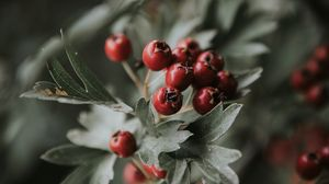 Preview wallpaper berries, red, bunch, leaves, branch
