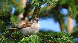 Preview wallpaper bird, sparrow, pine, branch, sit