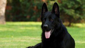 Preview wallpaper black shepherd, german shepherd, grass, sitting, dog