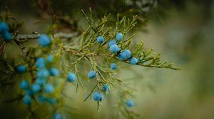 Preview wallpaper blueberries, berries, branch, ripe