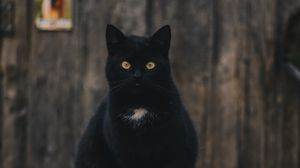 Preview wallpaper cat, black, sitting, looking