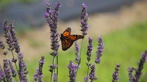 Preview wallpaper butterfly, lavender, flowers, insect, macro