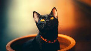 Preview wallpaper cat, black, sight, collar