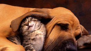 Preview wallpaper cat, dog, ear, care