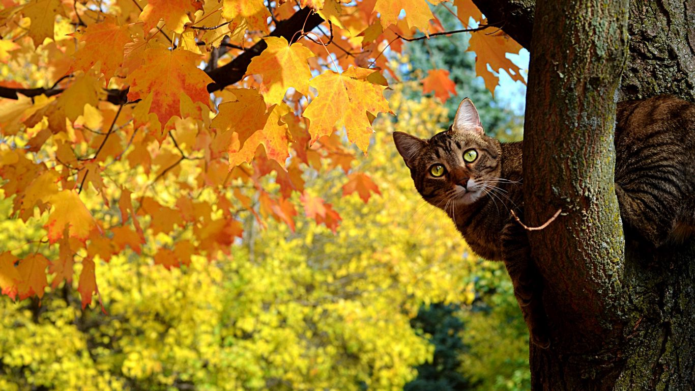 Cat Fall Tree Maple Leave Yellow HD