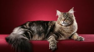 Preview wallpaper cat, maine coon, fluffy