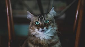 Preview wallpaper cat, muzzle, fluffy, blue-eyed