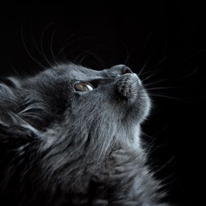 Preview wallpaper cat, muzzle, profile, black background