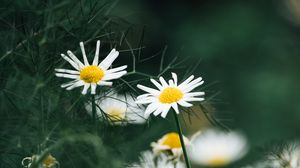 Preview wallpaper chamomile, flowers, macro, white, plant