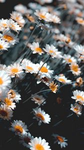 Preview wallpaper chamomile, flowers, white, bloom, plant