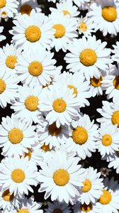 Preview wallpaper chamomile, flowers, white, bloom, plants