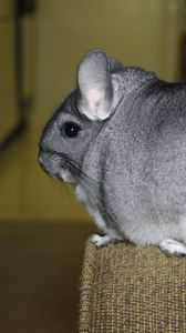 Preview wallpaper chinchilla, tail, fur, beautiful, cute