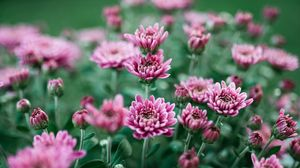 Preview wallpaper chrysanthemum, flower, bloom, purple