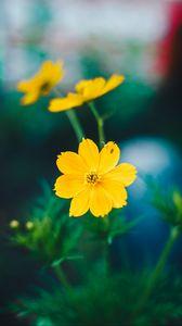 Preview wallpaper cosmos, field flower, blur