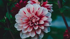 Preview wallpaper dahlia, dahlia rebeccas world, bud, petals