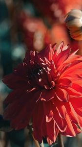 Preview wallpaper dahlia, flower, red, bloom, closeup