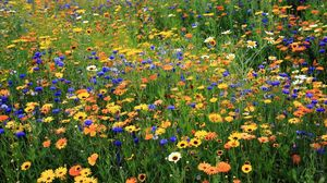 Preview wallpaper daisies, cornflowers, flowers, meadow, summer, nature
