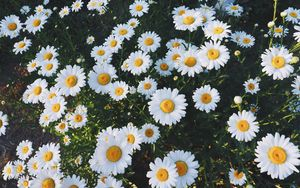 Preview wallpaper daisies, glade, flowers, grass