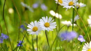 Preview wallpaper daisy, petals, grass