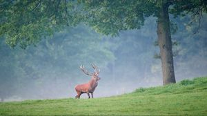 Preview wallpaper deer, trees, grass, walk, fog