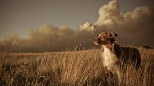 Preview wallpaper dog, field, grass, wind, clouds