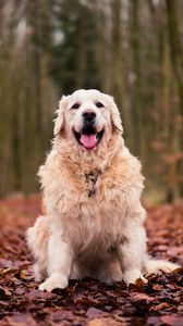 Preview wallpaper dog, sitting, autumn, foliage