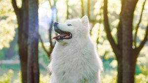 Preview wallpaper dog, samoyed dog, white, fluffy, protruding tongue