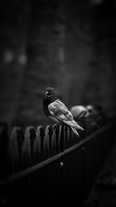Preview wallpaper dove, pigeon, bw, bird, fence