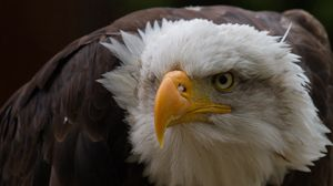 Preview wallpaper eagle, aggression, beak, feathers, head