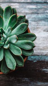 Preview wallpaper echeveria, succulent, pot