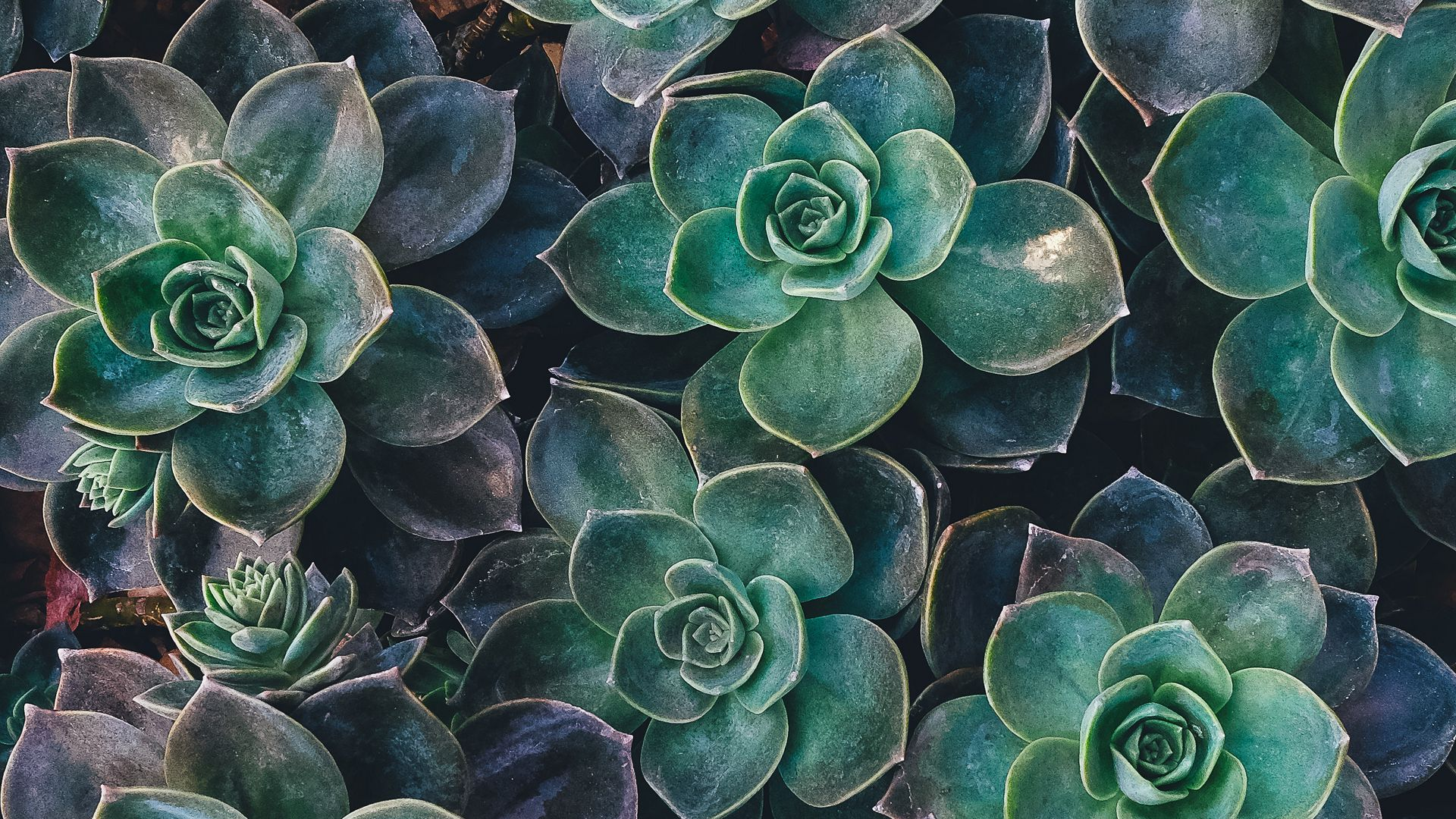 Download Wallpaper 1920x1080 Echeveria Succulents Plant