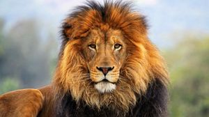 Preview wallpaper face, eyes, lion, fur, mane