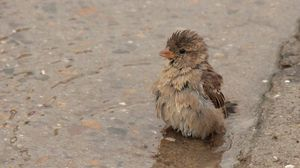 Preview wallpaper feathers, wet, water, sparrow, puddle