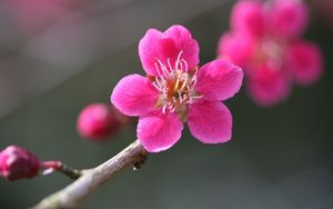 Preview wallpaper flower, bloom, plant, pink