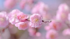 Preview wallpaper flower, spring, plant, petals, pink