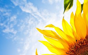 Preview wallpaper flower, sunflower, sky