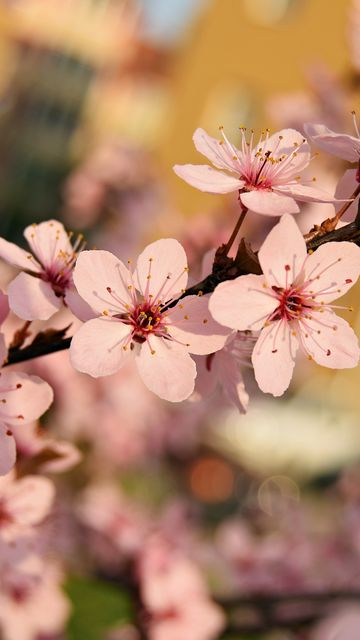 360x640 Wallpaper flowers, bloom, spring, branch