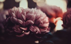 Preview wallpaper flowers, peonies, petals, blur