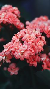 Preview wallpaper flowers, pink, bloom, bush, wild flower