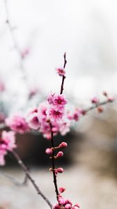 Preview wallpaper flowers, pink, buds, branch