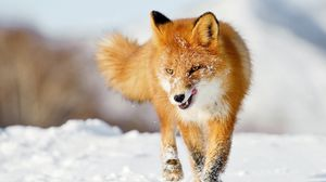 Preview wallpaper fox, snow, running, winter